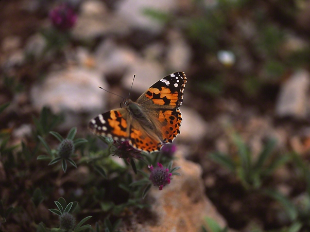 Painted lady butterfly, photographed by Jeff Zablow in Society for the Protection of Nature Hermon, Israel