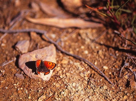Lycaena Phlaos butterfly (female), photographed by Jeff Zablow in Neve Ativ, Israel