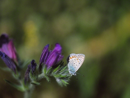 Blue butterfly, photographed by Jeff Zablow on Qedesh trail, Israel