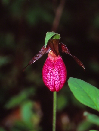 Pink Lady's Slipper Orchid, photographed by Jeff Zablow in Chapman State Park, PA