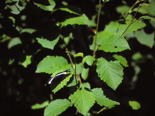 White Admiral Butterfly, State Gamelands #29, photographed by Jeff Zablow in Allegheny National Forest, PA