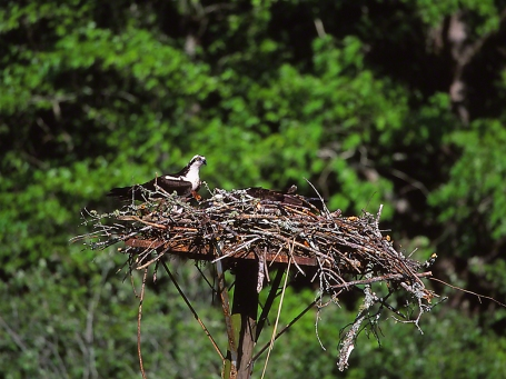 Osprey Nest with pair of Ospreys, photographed by Jeff Zablow at Oconee River, Putnam County, Georgia