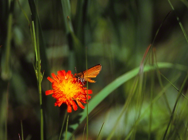 Skipper on orange Hawkweed, photographed by Jeff Zablow at Jamestown Audubon Center, NY