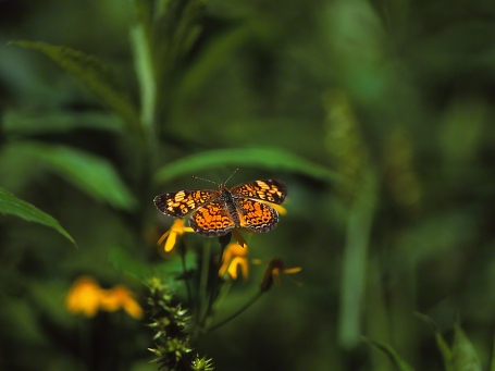 Pearl Crescent butterfly, (Full dorsal view), photographed by Jeff Zablow at Jamestown Audubon Center, NY