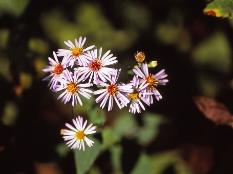 Aster Wildflower, photographed by Jeff Zablow at Jamestown Audubon Center, NY