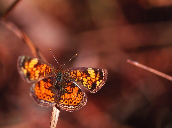 Crescent Butterfly (Pearl or Phaon ?), photographed by Jeff Zablow at Rock Hawk, Georgia