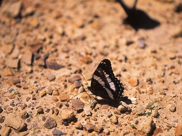 White Admiral Butterfly, photographed by Jeff Zablow at State Gamelands #29, NY