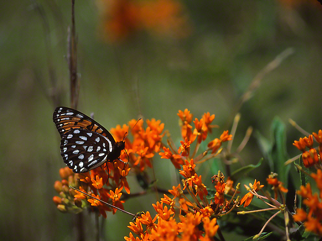 Regal Fritillary Butterfly photographed by Jeff Zablow in Fort Indiantown Gap Military Reservation, PA