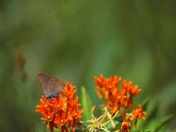 Coral Hairstreak Butterfly photographed by Jeff Zablow in Fort Indiantown Gap Military Reservation, PA