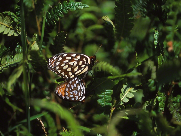 Mating Regal Fritillary Butterflies photographed by Jeff Zablow in Fort Indiantown Gap Military Reservation, PA