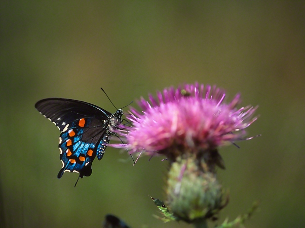 Pipeline Swallowtail Butterfly photographed by Jeff Zablow in Fort Indiantown Gap Military Reservation, PA