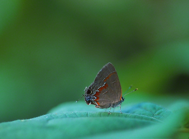Red-banded Hairstreak Butterfly photographed by Jeff Zablow in the Briar Patch Habitat in Eatonton, GA