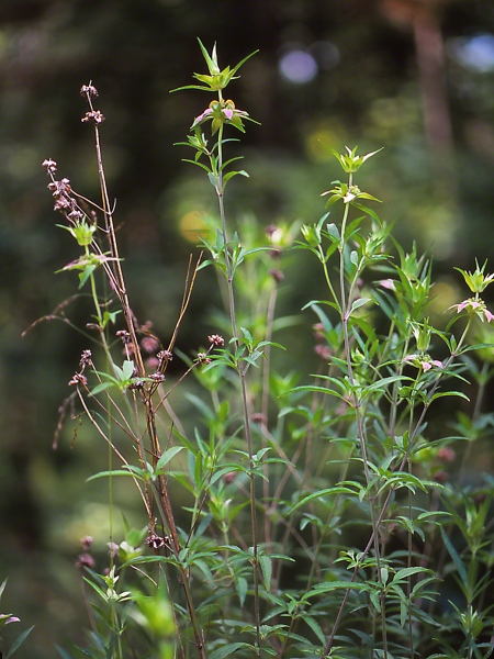 Rare Monarda Wildflower Plants photographed by Jeff Zablow in Hard Labor Creek State Park, GA
