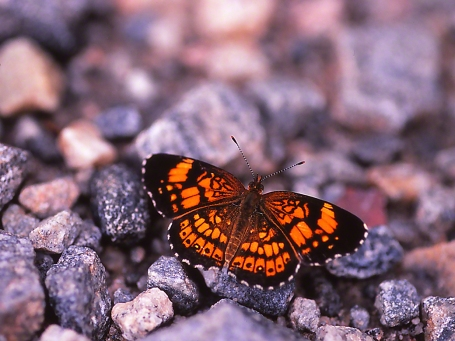 Silvery Checkerspot Butterfly photographed by Jeff Zablow in Piedmont National Wildlife Refuge, GA