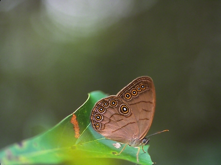 Appalachian Brown Butterfly photographed by Jeff Zablow in Piedmont National Wildlife Refuge, GA