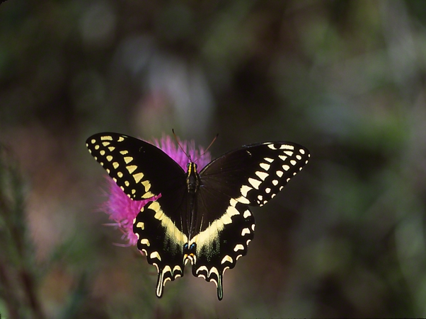 Palamedes Swallowtail Butterfly photographed by Jeff Zablow in Big Bend Wildlife Management Area, Florida's Panhandle