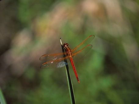 Darner photographed by Jeff Zablow in Big Bend Wildlife Management Area, Florida's Panhandle
