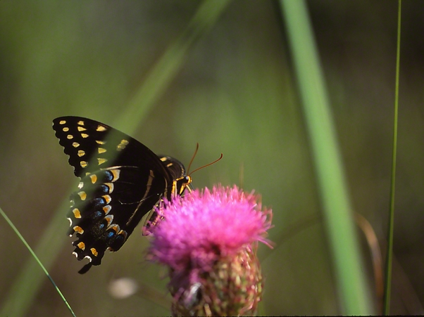 Palamedes Swallowtail on Thistle Flowerhead photographed by Jeff Zablow in Big Bend Wildlife Management Area, Florida's Panhandle