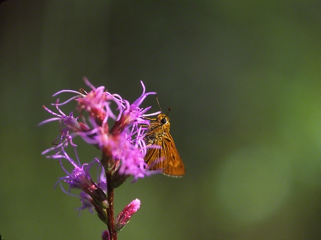 Skipper on Liatris Blooms photographed by Jeff Zablow in Big Bend Wildlife Management Area, Florida's Panhandle