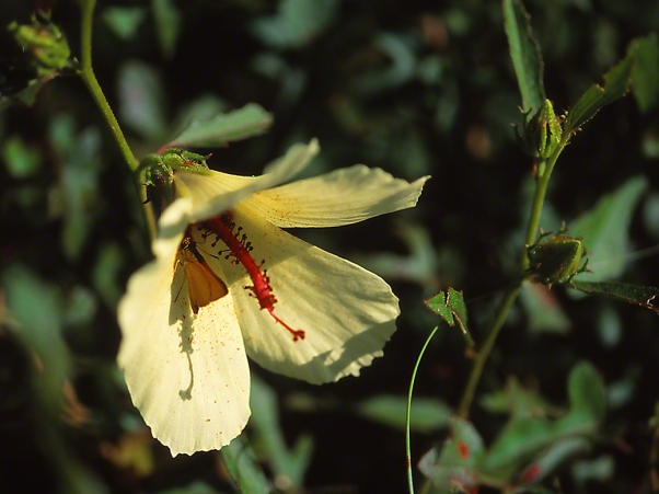 Wildflower with Skipper Butterfly photographed by Jeff Zablow in Big Bend Wildlife Management Area, Florida's Panhandle