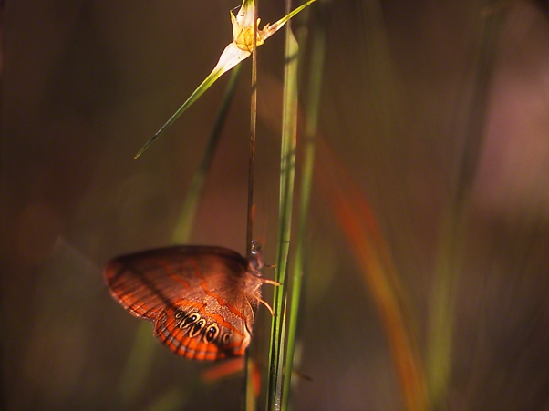 Georgia Satyr Butterfly photographed by Jeff Zablow in Big Bend Wildlife Management Area, Florida's Panhandle