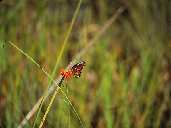 Queen Butterfly photographed by Jeff Zablow in Big Bend Wildlife Management Area, Florida's Panhandle