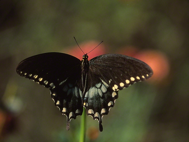 Spicebush Swallowtail Butterfly photographed by Jeff Zablow in the Briar Patch Habitat in Eatonton, GA