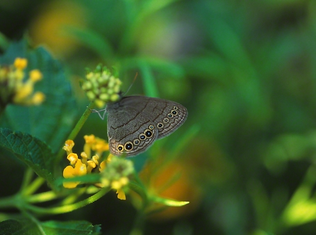 Carolina Satyr Butterfly photographed by Jeff Zablow in the Briar Patch Habitat in Eatonton, GA
