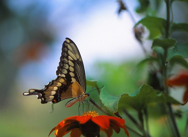 Giant Swallowtail Butterfly on Tithonia photographed by Jeff Zablow in the Briar Patch Habitat in Eatonton, GA