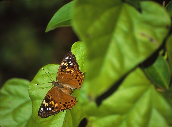 Hackberry Emperor Butterfly photographed by Jeff Zablow in the Briar Patch Habitat in Eatonton, GA