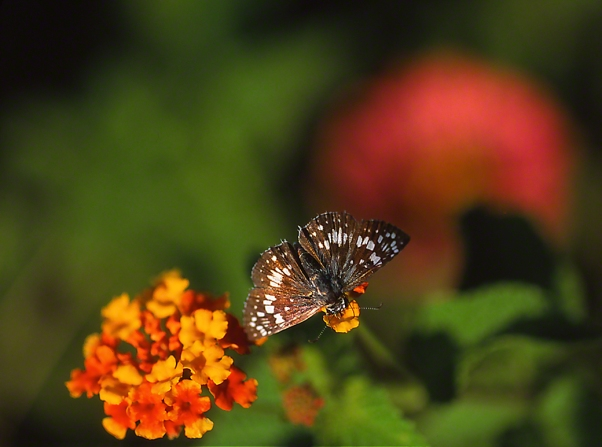Checkered Skipper Butterfly on Lantana photographed by Jeff Zablow in the Briar Patch Habitat in Eatonton, GA
