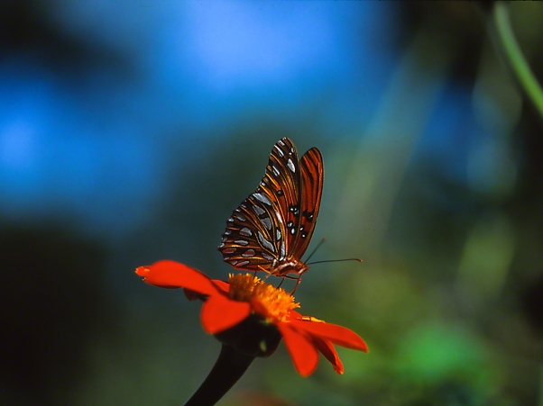Gulf Fritillary Butterfly on Lantana Flowers photographed by Jeff Zablow in the Briar Patch Habitat in Eatonton, GA