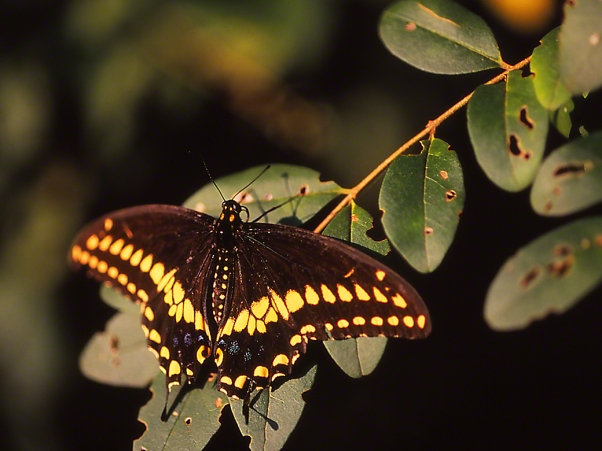 Male Black Swallowtail Butterfly photographed by Jeff Zablow in the Briar Patch Habitat in Eatonton, GA