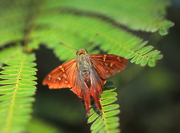Long-Tailed Skipper Butterfly photographed by Jeff Zablow in the Briar Patch Habitat in Eatonton, GA
