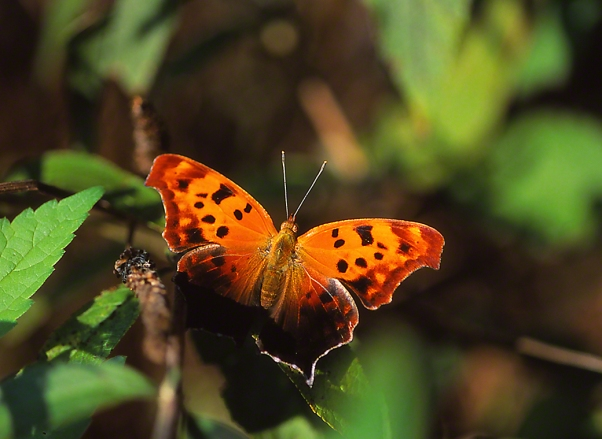 Question Mark Butterfly photographed by Jeff Zablow in the Briar Patch Habitat in Eatonton, GA