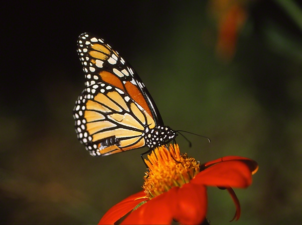 Monarch Butterfly on Tithonia photographed by Jeff Zablow in the Briar Patch Habitat in Eatonton, GA