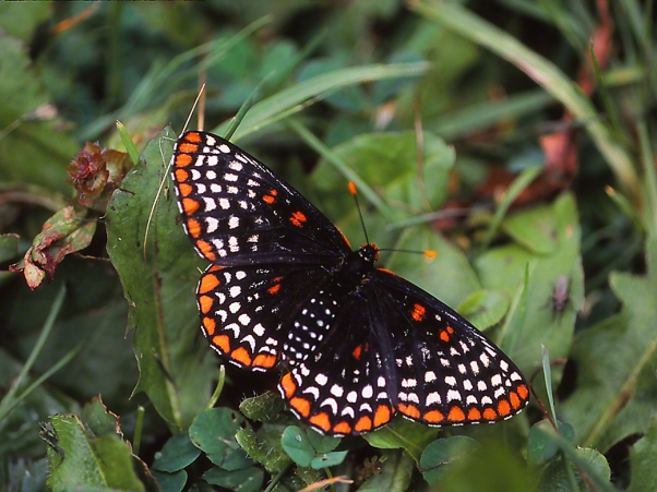 Baltimore Checkerspot Butterfly photographed by Jeff Zablow in Jamestown Audubon Center, NY