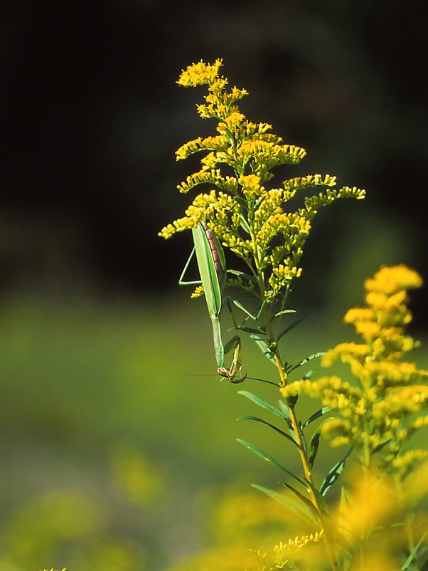 Praying Mantis photographed by Jeff Zablow in Traci Meadow, Fayette Township, PA