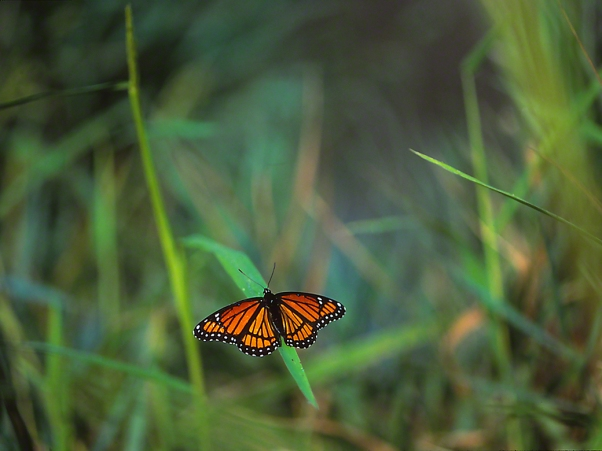 Viceroy Butterfly photographed by Jeff Zablow in Kelso Swamp, Fayette Township, PA