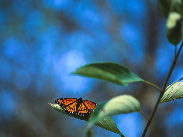 Viceroy Butterfly, photographed by Jeff Zablow in Kelso Swamp, Fayette Township, PA