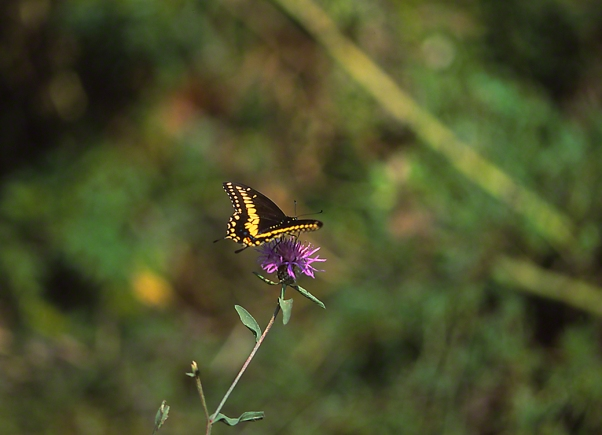 Black Swallowtail photographed by Jeff Zablow in Traci Meadow, Fayette Township, PA