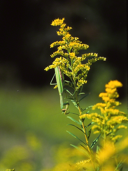 Praying Mantis Preening photographed by Jeff Zablow in Traci Meadow, Fayette Township, PA