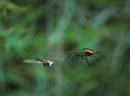 Argiope Spider Re-visiting Prey photographed by Jeff Zablow in Kelso Swamp, Fayette Township, PA