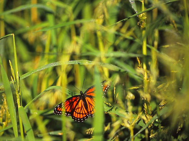 Viceroy Butterfy concealed in Foliage photographed by Jeff Zablow in Kelso Swamp, Fayette Township, PA