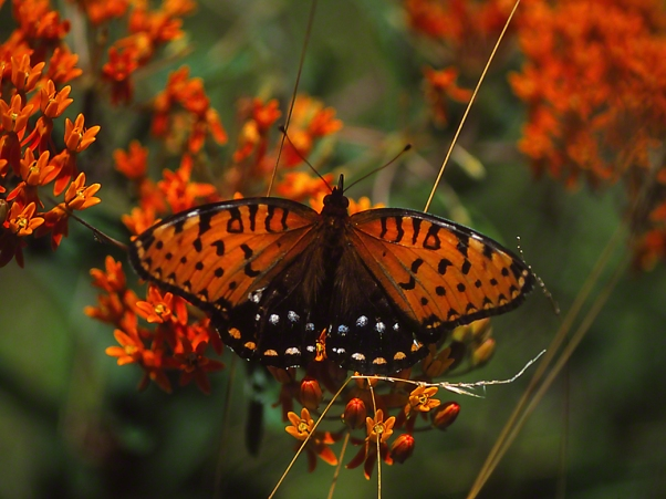 Full dorsal view of Regal Butterfly photographed by Jeff Zablow in Fort Indiantown Gap Military Reservation, PA