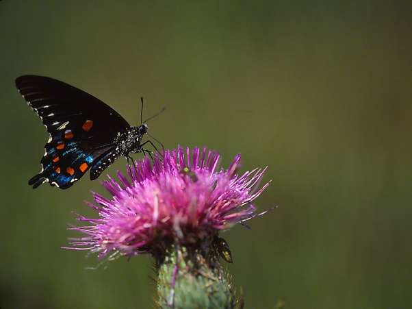 Pipeline Swallowtail Butterfly sipping nector on a thistle photographed by Jeff Zablow in Fort Indiantown Gap Military Reservation, PA