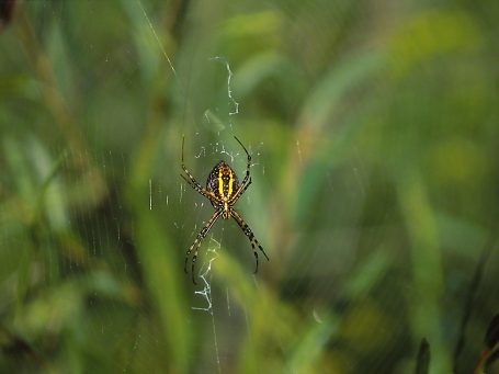 Argiope Spider photographed by Jeff Zablow in Kelso Swamp, Fayette Township, PA