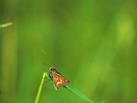 Skipper Butterfly photographed by Jeff Zablow in Kelso Swamp, Fayette Township, PA