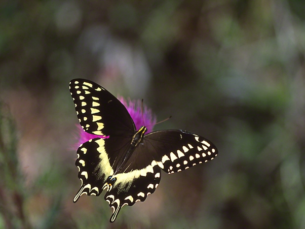 Palmed Swallowtail Butterfly, photographed by Jeff Zablow at Big Bend Wildlife Management Area, Florida