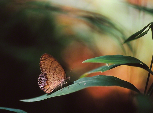 Gemmed Satyr Butterfly, photographed by Jeff Zablow at Hard Labor creek State Park, Georgia